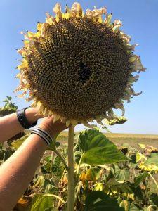 семена евралис, подсолнечник украина, подсолнечник устойчивый к заразихе