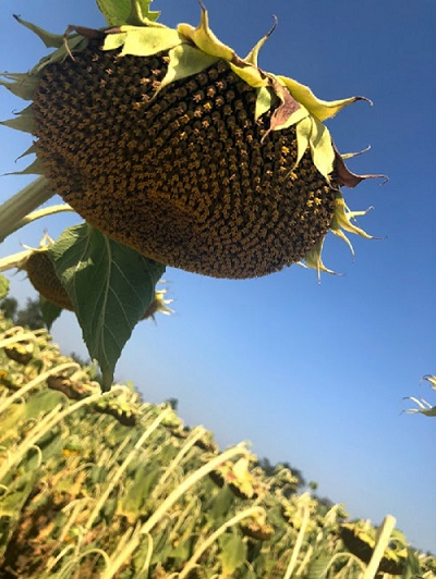 гибрид лейла, семена компании асп,подсолнечник