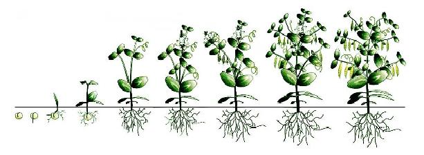 обробка гороху по фазам розвитку,пiдживлення гороху по фазам