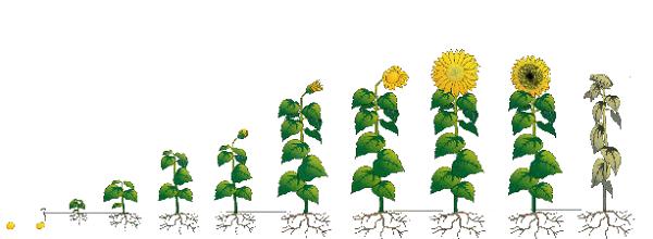 обробка соняшника по фазам,фазове пiдживлення соняшника
