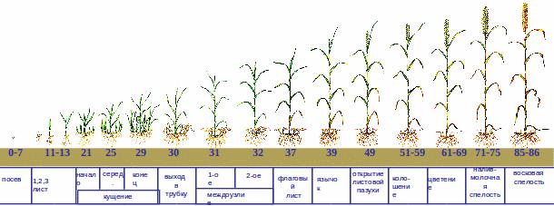 обработка зерновых по фазам развития