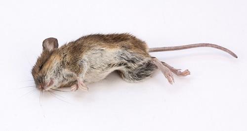 родентициды,борьба с мышами,уничтожение мышей,уничтожение крыс