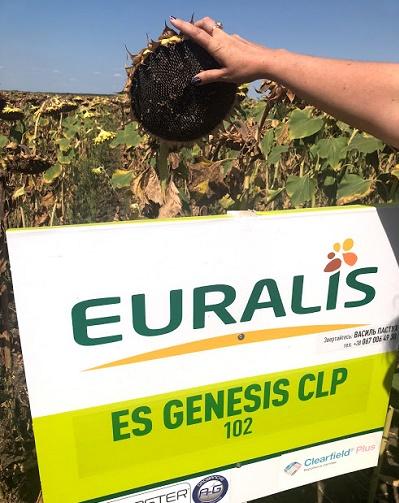 подсолнечник ес генезис,гибрид генезис,генезис евралис,генезис в поле