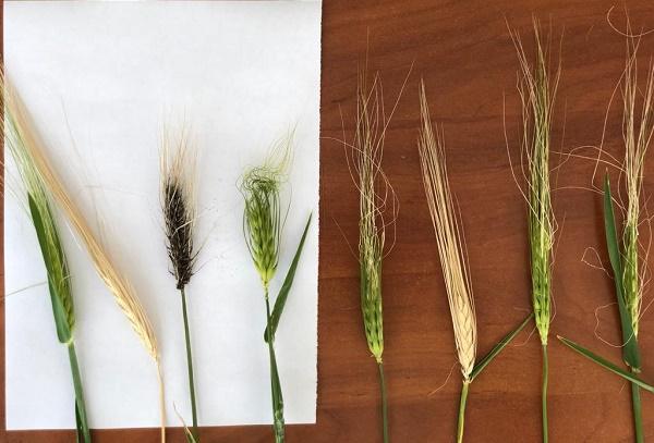 озимая пшеница,болезни озимой пшеницы,вредители озимой пшеницы,защита посевов,вредители в поле,состояние посевов 2020