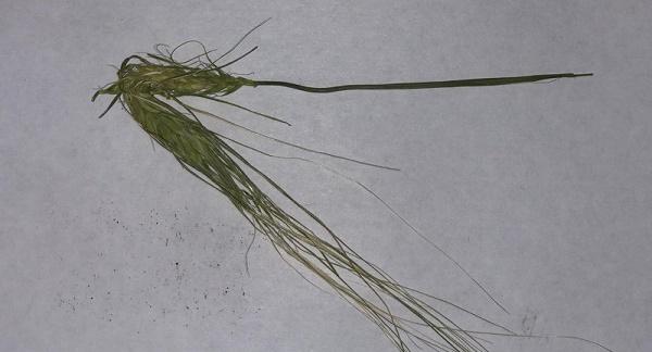 клоп вредная черепашка на пшенице,квч,вредитель пшеницы,вредоносность клопа черепашки,колос квч