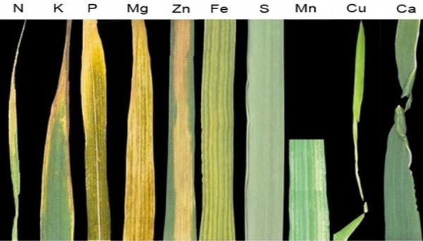 нехватка азота на пшеницы,дефицит азота на озимой пшенице,лист пшеницы с дефицитом элементов
