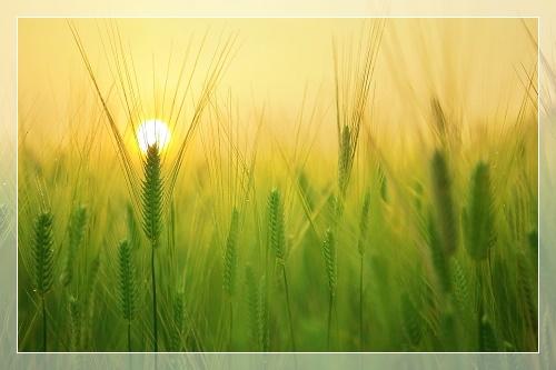 Озимая пшеница. Защита посевов 2020