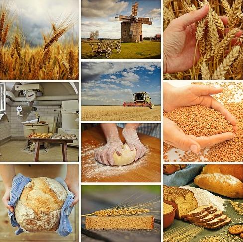 озимая пшеница в украине,возделывание пшеницы,значение озимой пшеницы,народно-хозяйственное значение озимой пшеницы
