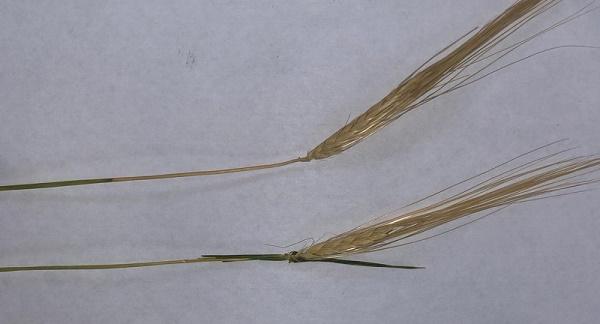 вредители пшеницы,злаковые мухи на пшенице,злаковая муха на озимой пшенице,вредоносность злаковой мухи,гессенская муха на пшенице