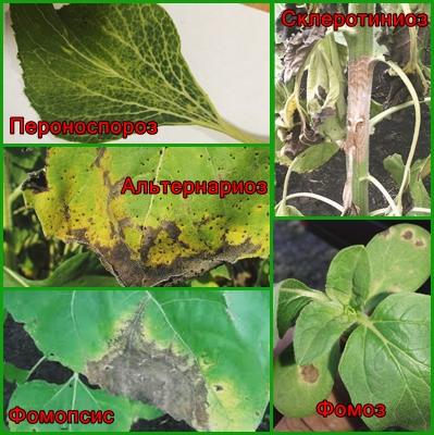 болезни подсолнечника, переноспороз подсолнечника,склеротиниоз подсолнечника,альтернариоз подсолнечника,фомопсис подсолнечника,фомоз подсолнечника