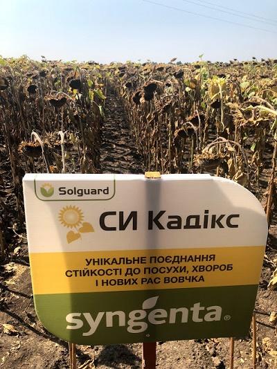 гибрид кадикс,урожайность кадикс,кадикс на поле